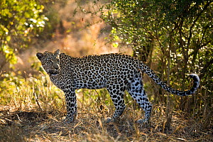 Leopard (Panthera pardus) female in the bush, Sabi Sand Game Reserve, South Africa, June - Christophe Courteau