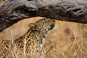 Female Leopard (Panthera pardus) scratching, Sabi Sand Private Game Reserve, South Africa, June  -  Christophe Courteau