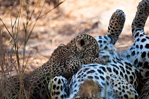Leopard (Panthera pardus) cub suckling from mother, Sabi Sand Private Game Reserve, South Africa, June  -  Christophe Courteau