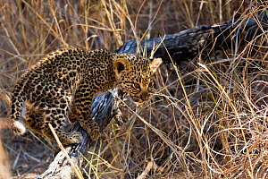 Leopard (Panthera pardus) cub playing, Sabi Sand Private Game Reserve, South Africa, June  -  Christophe Courteau