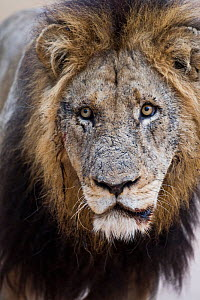 Old male African lion (Panthera leo) portrait, Sabi Sand Game Reserve, South Africa, June - Christophe Courteau