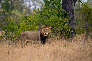 Old male African lion (Panthera leo) in bush, Sabi Sand Game Reserve, South Africa, June  -  Christophe Courteau