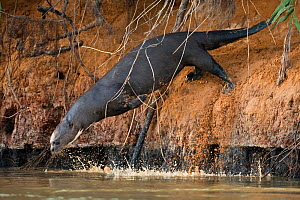 Giant otter (Pteronura brasiliensis) diving into river, Pantanal River, Brazil, July  -  Christophe Courteau