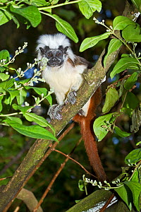 Cotton-top Tamarin (Saguinus oedipus) portrait of juvenile, sitting in tree. Captive, found in NW Colombia. Critically Endangered.  -  Rod Williams