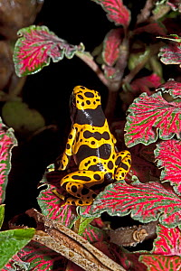 Yellow-banded Poison Dart Frog (Dendrobates leucomelas) sitting on colourful variegated leaves. Captive, found in Brazil, Guyana, Venezuela - Rod Williams