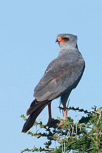 Dark Chanting Goshawk (Melierax metabates) perched in tree, Serengeti National Park, Tanzania, Africa, February - Guy Edwardes