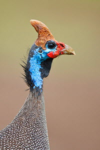 Helmeted Guineafowl (Numida meleagris) head portrait in profile, Ngorongoro Conservation Area, Tanzania, Africa, February - Guy Edwardes