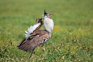 Kori Bustard (Ardeotis kori struthiunculus) male calling in courtship display, Serengeti National Park, Tanzania, Africa, February  -  Guy Edwardes