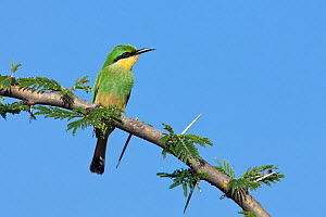 Little Bee-eater (Merops pusillus cyanostictus) perched in branch, Ndutu, Ngorongoro Conservation Area, Tanzania, Africa, February - Guy Edwardes