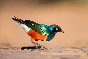 Superb Starling (Lamprotornis superbus) on ground foraging for food, Serengeti National Park, Tanzania, Africa, February  -  Guy Edwardes