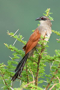 White-browed Coucal (Centropus superciliosus) perched in the top of a tree, Lake Manyara National Park, Tanzania, Africa, February - Guy Edwardes