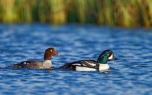 Pair of Barrows Goldeneye (Bucephala islandica) swimming together, Iceland, May  -  Steve Knell