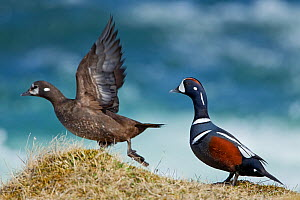 Harlequin ducks (Histrionicus histrionicus) male chasing female on riverbank, Iceland, May  -  Steve Knell