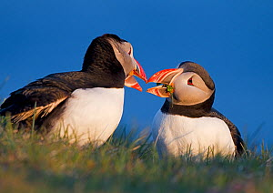 Pair of Puffins (Fratercula arctica) in courtship ritual on grassy clifftop. Iceland, June  -  Steve Knell