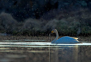 Whooper swan (Cygnus cygnus) on water, backlit showing swarming midges. Iceland, May  -  Steve Knell