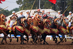 Traditionally dressed Berber warriors, mounted on Barb and Arab Barb horses, gallop in formation ready to fight during the Fantasia in Dar Es Salam, Morocco, June 2010 - Kristel Richard