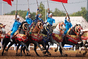 Traditionally dressed Berber warriors, mounted on Barb and Arab Barb horses, gallop in formation raising their guns during the Fantasia in Dar Es Salam, Morocco, June 2010 - Kristel Richard