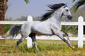 A grey Arab Barb stallion cantering in paddock at the National Stud of Meknes, Morocco, June 2010 - Kristel Richard