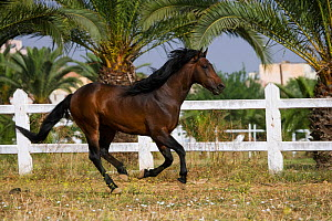 A bay Arab Barb stallion cantering in a paddock at the National Stud of Meknes, Morocco, June 2010 - Kristel Richard