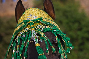 Close up of a black Arab Barb stallion decorated for the Fantasia, Morocco. Model Released, Juen 2010 - Kristel Richard