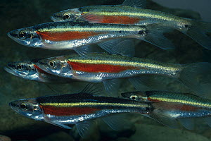Redside dace (Clinostomus elongatus) Central USA. - Visuals Unlimited