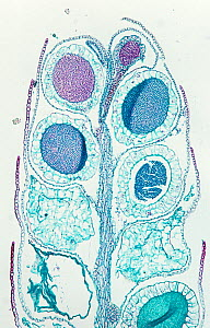 Longitudinal-section of a Liverwort (Porella sp) antheridial branch. LM X25. - Visuals Unlimited