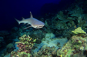 White-tipped reef shark (Triaenodon obesus) swimming over a Coral reef, Carcharhinidae, Tropical Indo-Pacific Ocean. - Visuals Unlimited