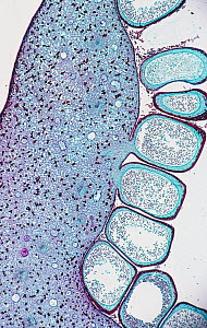 Cross-section of the mature male sporophyll of a Cycad (Cycas sp). LM X4. - Visuals Unlimited