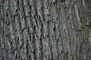 Norway Maple bark (Acer platanoides). - Visuals Unlimited