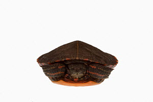 Baby Eastern painted turtle (Chrysemys picta), front view - Visuals Unlimited