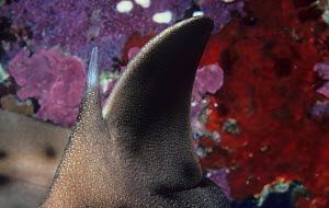 Close-up of the Horn shark (Heterodontus francisci) dorsal spine and fin, California, USA.  -  Visuals Unlimited