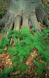 New York fern (Thelypteris noveboracensis) at the base of a Beech tree, USA. - Visuals Unlimited