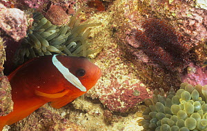 Anemonefish (Amphiprion melanopus) guarding its eggs in a Sea Anemone, Fiji, Pacific Ocean. - Visuals Unlimited