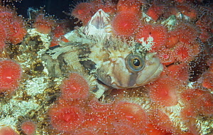 Decorated warbonnet (Chirolophis decoratus) resting among Sea anemones, Pacific Coast of North America. - Visuals Unlimited