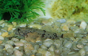 Potomac sculpin (Cottus girardi), an endemic species to the Shenandoah and Potomac Rivers, Virginia, USA. - Visuals Unlimited