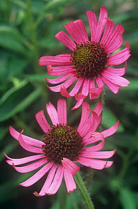 Tennessee coneflower (Echinacea tennesseensis) flowers, an endangered species in the wild, Eastern USA. - Visuals Unlimited
