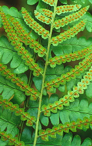 Sori on a frond of a Southern wood fern (Dryopteris ludoviciana) USA  -  Visuals Unlimited