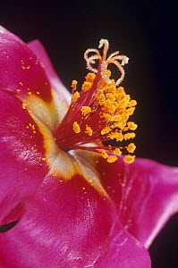 Portulaca flower parts showing petals, stamens with pollen, and the stigma. - Visuals Unlimited