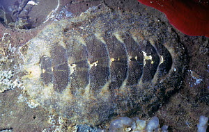 Mossy / Hairy chiton (Mopalia hindsii), California, USA, Pacific Ocean. - Visuals Unlimited
