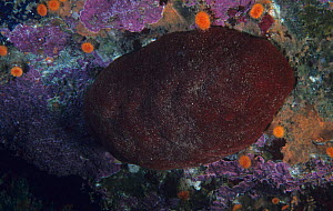Gumboot chiton (Cryptochiton stelleri) the largest species of Chiton, California, USA, Pacific Ocean. - Visuals Unlimited