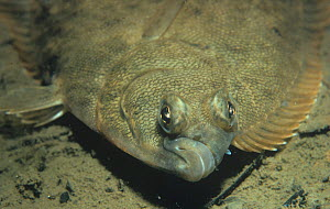Winter flounder (Pseudopleuronectes americanus) showing the closely spaced eyes and the protective colouration of these flatfish, Atlantic Ocean. - Visuals Unlimited