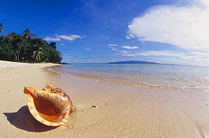 Trumpet Triton shell (Charonia tritonis) on a tropical sandy beach, Fiji, Pacific Ocean.  -  Visuals Unlimited