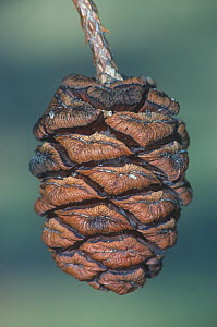 Giant sequoia seed cone (Sequoiadendron giganteum) California, USA. - Visuals Unlimited