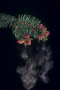 Female Norway spruce (Picea abies) male cones releasing pollen. - Visuals Unlimited