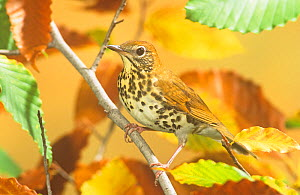 Wood thrush (Hylocichla mustelina) in autumn Beech tree. Eastern USA.  -  Visuals Unlimited
