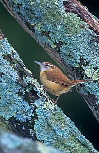 Carolina wren (Thryothorus ludovicianus). Eastern USA.  -  Visuals Unlimited