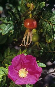 Wild rose flower and rose hips (Rosa rugosa) Northeastern USA.  -  Visuals Unlimited