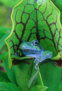 Grey treefrog (Hyla versicolor) sitting in a Pitcher plant (Sarracenia sp) Eastern USA. - Visuals Unlimited