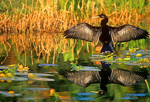 Anhinga (Anhinga anhinga) drying its wings, Note its reflection in the marsh pond. Southern USA. - Visuals Unlimited