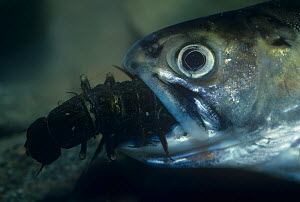 Brook trout (Salvelinus fontinalis) eating a Hellgrammite or Dobsonfly larva, USA. - Visuals Unlimited
